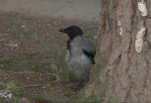 Photo of TVSA/VIDEO/Arnad i njegov kućni ljubimac-vrana